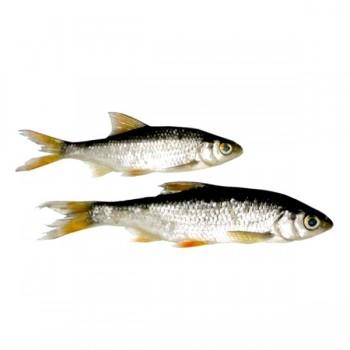 Krmení, nástrahy, návnady - ŽIVÉ NÁSTRAHY - Nástražní rybičky
