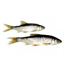 ŽIVÉ NÁSTRAHY - Nástražní rybičky